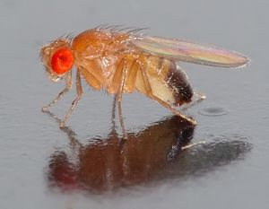 A fly resting on a reflective surface. A large, red eye faces the camera. The body appears transparent, apart from black pigment at the end of its abdomen.
