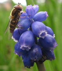 Syrphid fly on Grape hyacinth.jpg