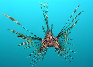 The ornate lionfish as seen from a head on view